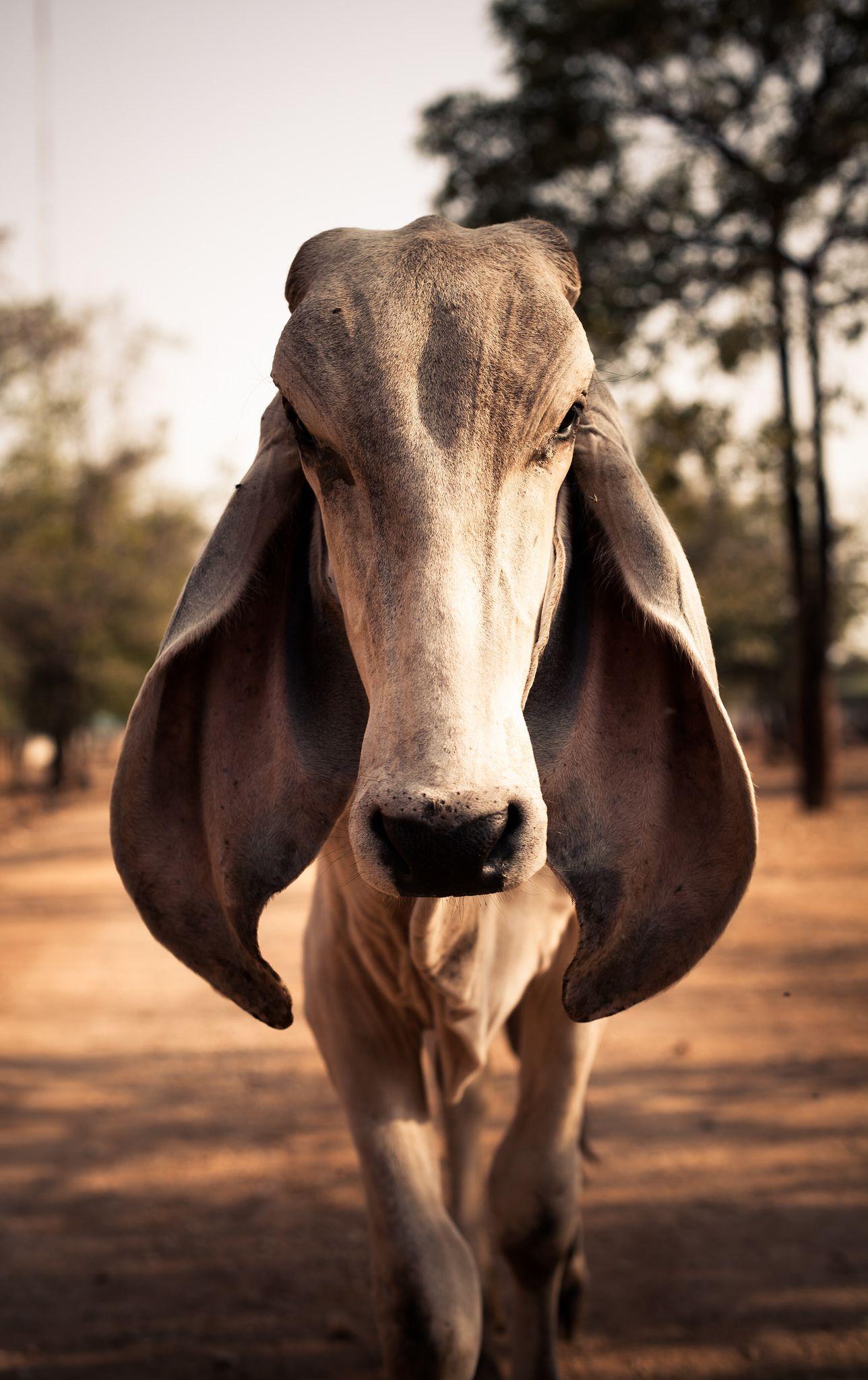 Big Ears Critter Cattle Animals