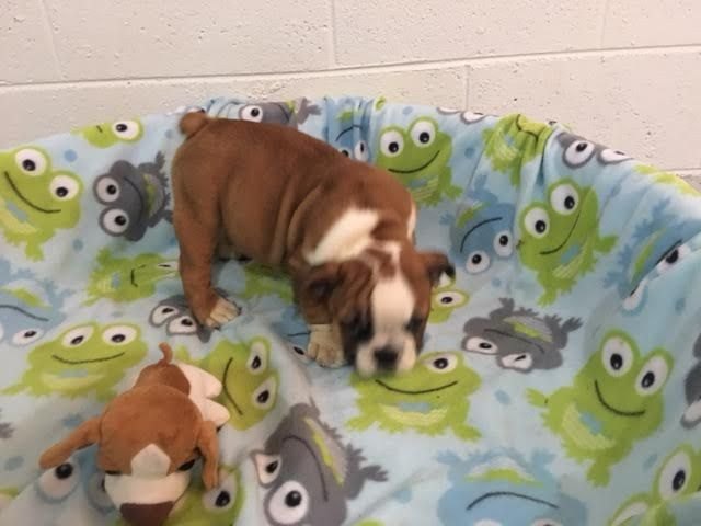 Bulldog Puppy For Sale In Richmond Va Adn 33055 On Puppyfinder Com Gender Male Age 8 We Bulldog Puppies For Sale Puppies For Sale English Bulldog For Sale
