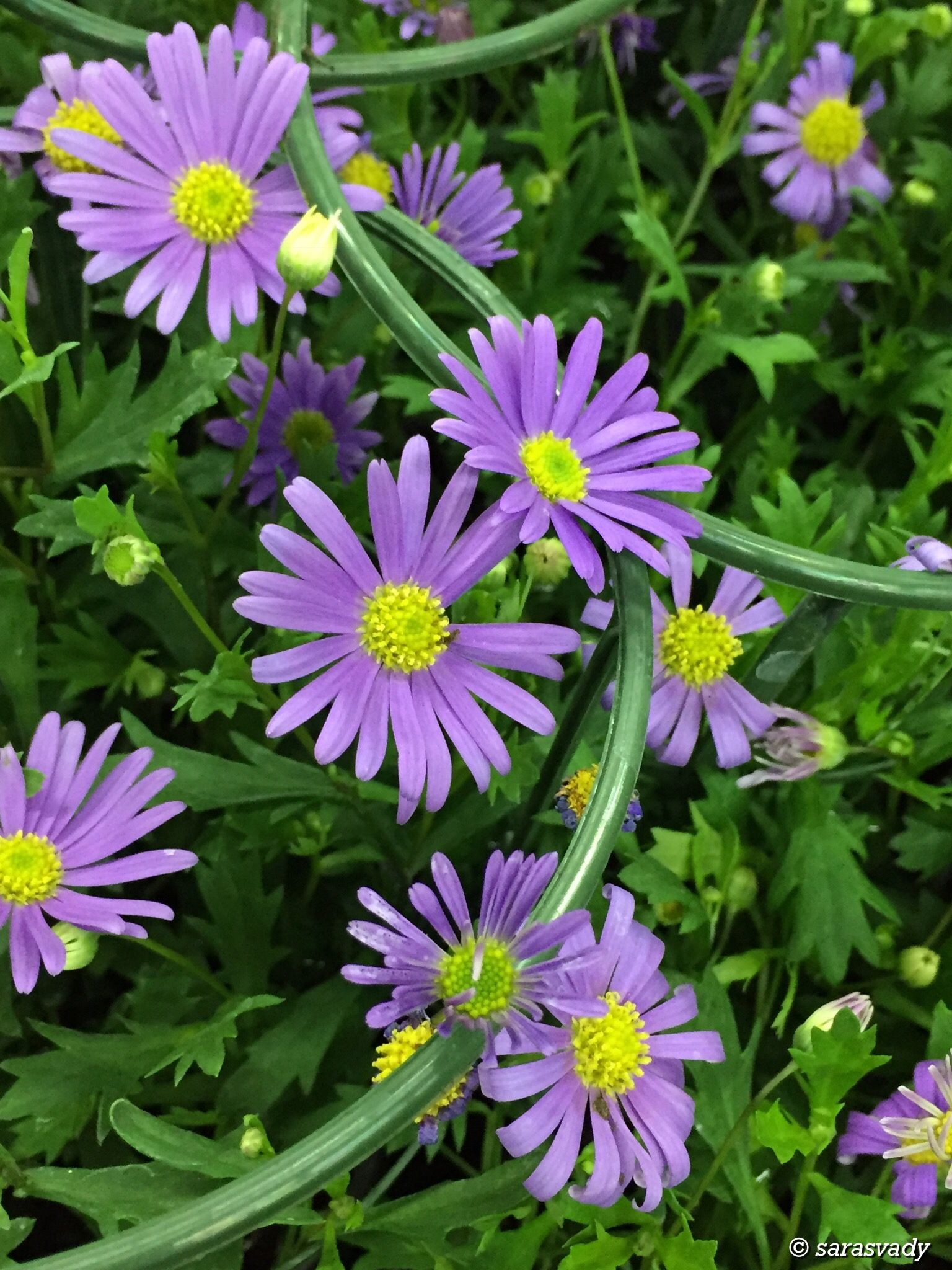 Pin By Sarasvady Rattinavelou On Asters Flowers Photography Purple Flowers Beautiful Flowers