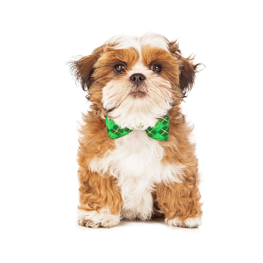 Shichon Puppy!