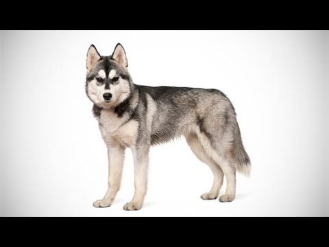Dogs 101 Siberian Husky Dog Breed Selector Dog Breeds
