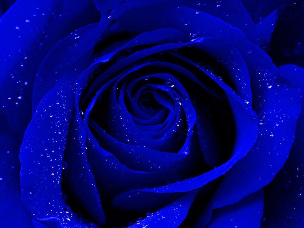 404 Not Found Blue Roses Wallpaper Blue Rose Rose Wallpaper