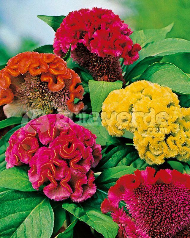 Celosia Unusual Flowers Flowers Rare Flowers