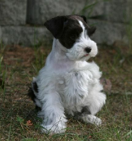 Miniature Schnauzer Puppies For Sale Males And Females Parties Silvers Platinium Livers Whites Rar Schnauzer Puppy Miniature Schnauzer Puppies Schnauzer