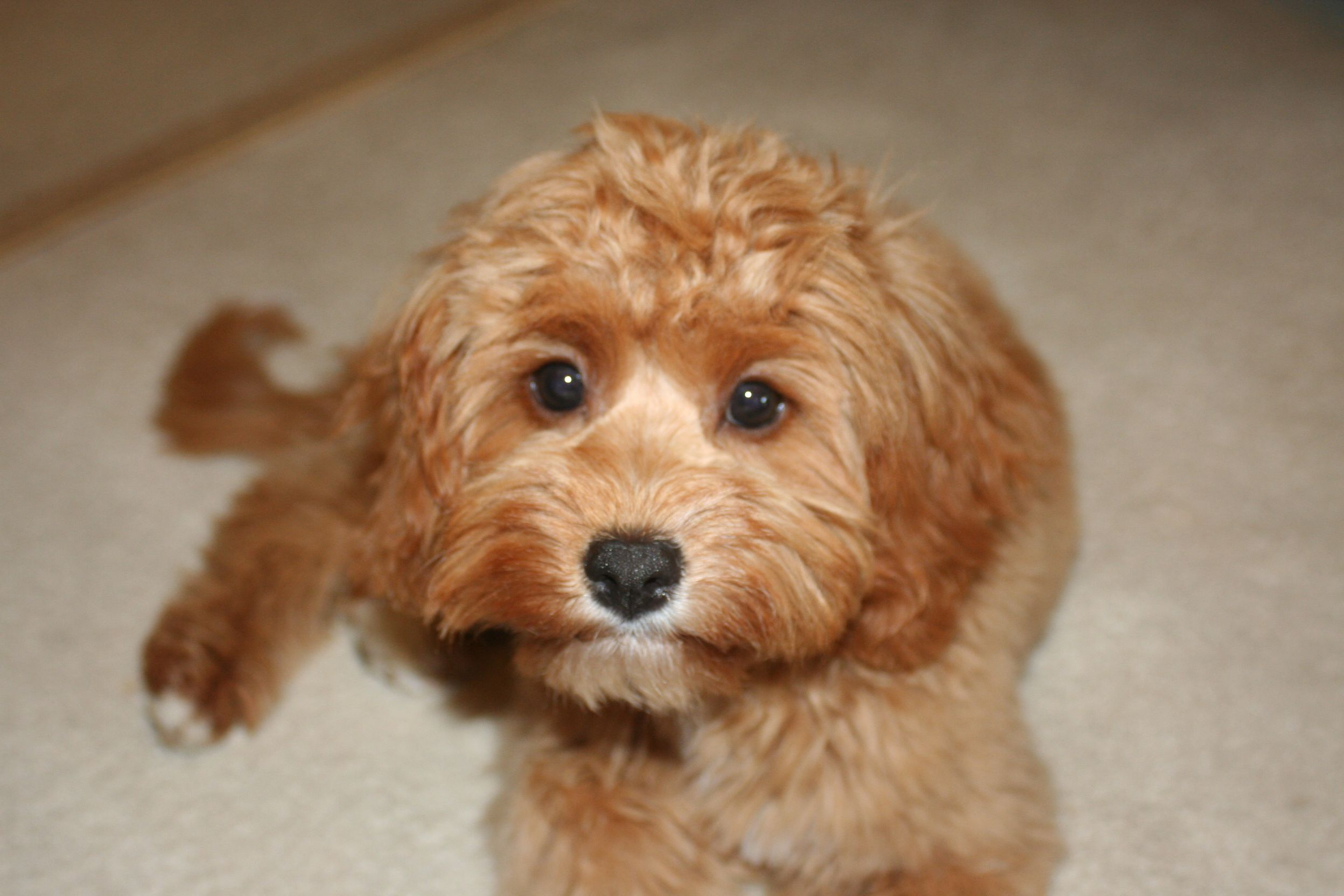 Latte Toy Cavoodle Cavapoo Puppies Dogs