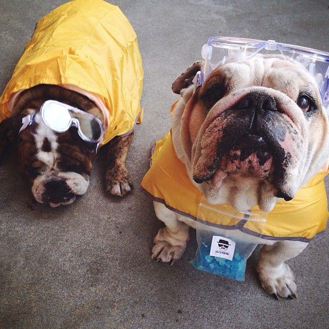 Breaking Bad Dog Costume Breakingbad Jesseandwalt Bulldogs