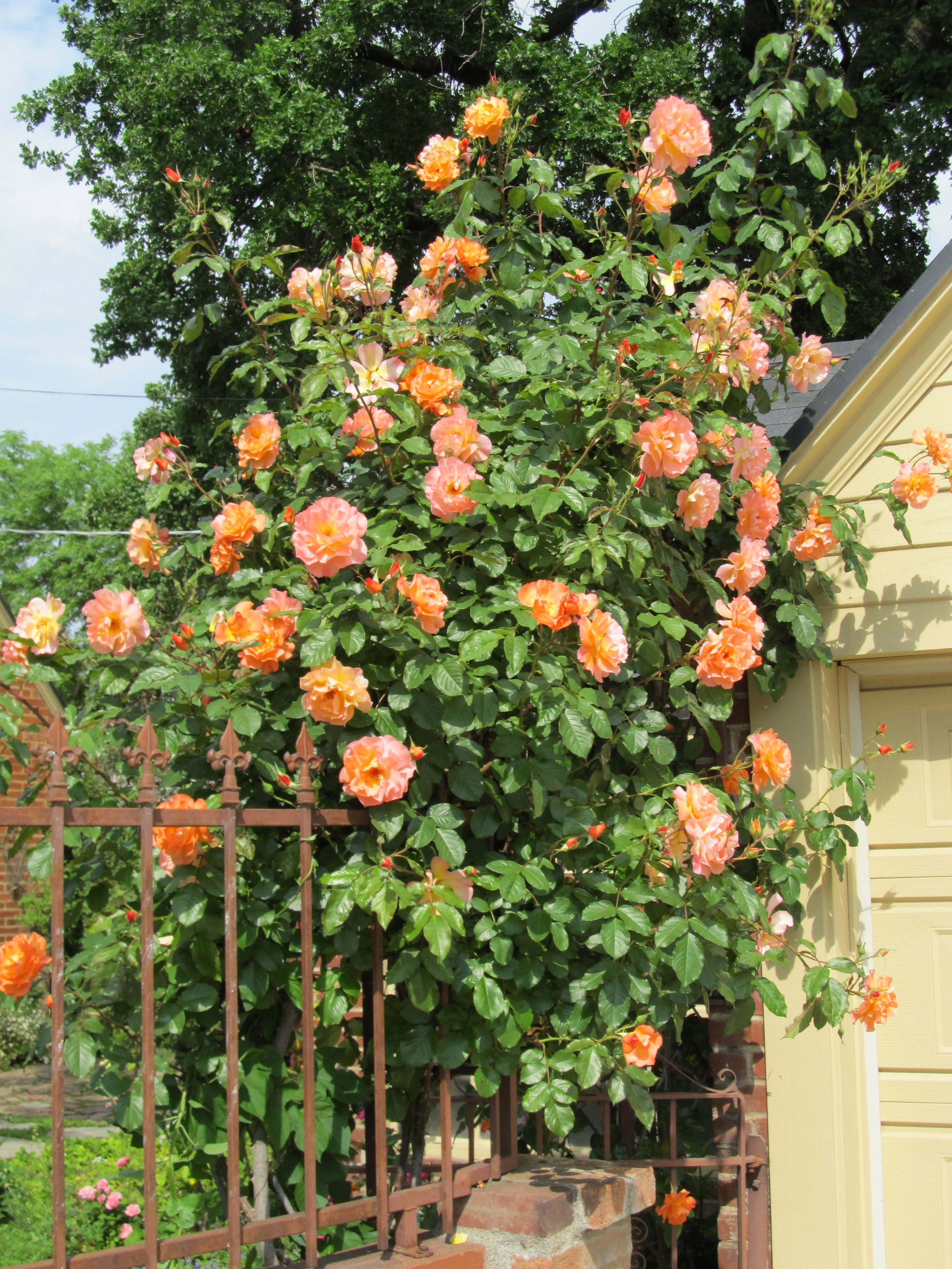 climbing westerland roses on back arch brought to you by. Black Bedroom Furniture Sets. Home Design Ideas