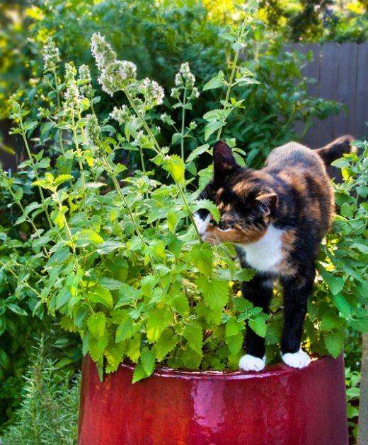 Mačja trava mačja menta Plants outdoor care / Nega