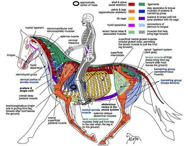 Pin von ✨Jamie✨ auf horse anatomy | Pinterest