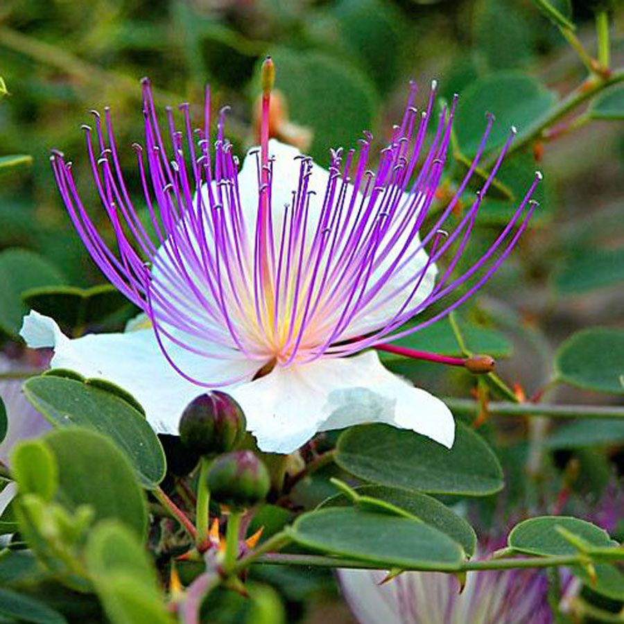 Capparis Spinosa Flowers Plants Pinterest Flowers Plants