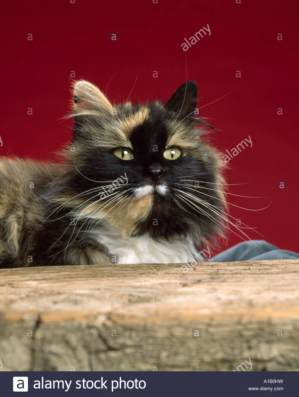 c175e524855 Download this stock image: LONG HAIRED CALICO CAT / COLORADO - A1B0HW from  Alamy's library of millions of high resolution stock photos, illustrations  and ...