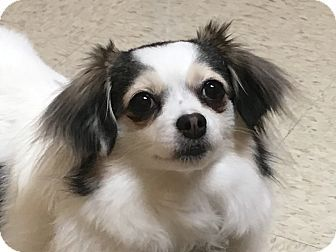 Pictures Of Laci A Papillon Chihuahua Mix For Adoption In