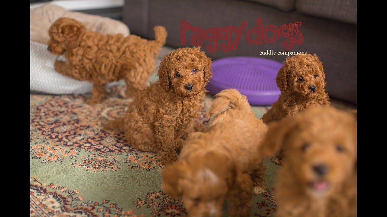 Cavoodle dogs playing & barking with their 7.5 week old