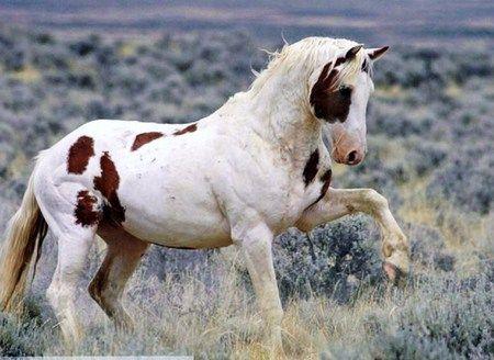 Wild Paint Horses Pretty Horses Horse Breeds
