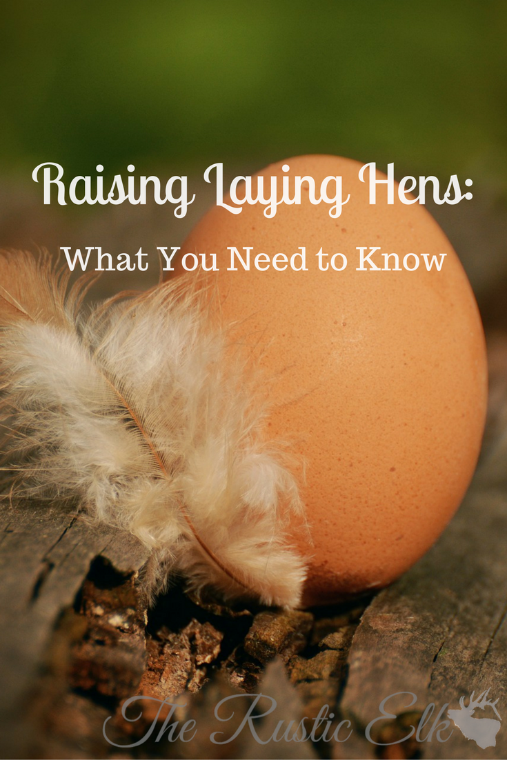 raising laying hens what you need to know keeping chickens and