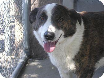 Delta, CO - Australian Shepherd Mix. Meet Rowdy, a dog for adoption. http://www.adoptapet.com/pet/15670879-delta-colorado-australian-shepherd-mix