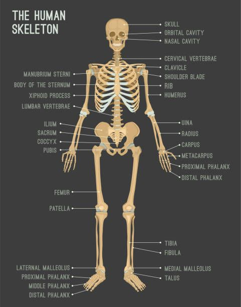 anatomy reference   Anatomy reference, Xiphoid process ...