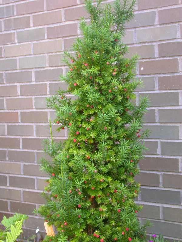 Yew tree maintenance rating rate perfect good average for Garden yew trees