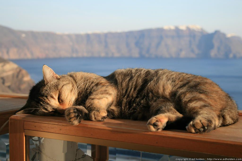 cats of santorini greece | This cat is very much at home in a shop in Oia.
