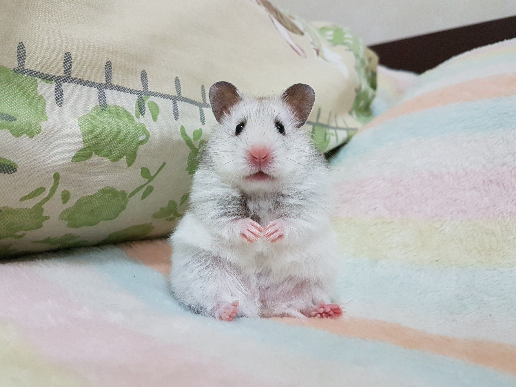 Pin On Syrian Hamster