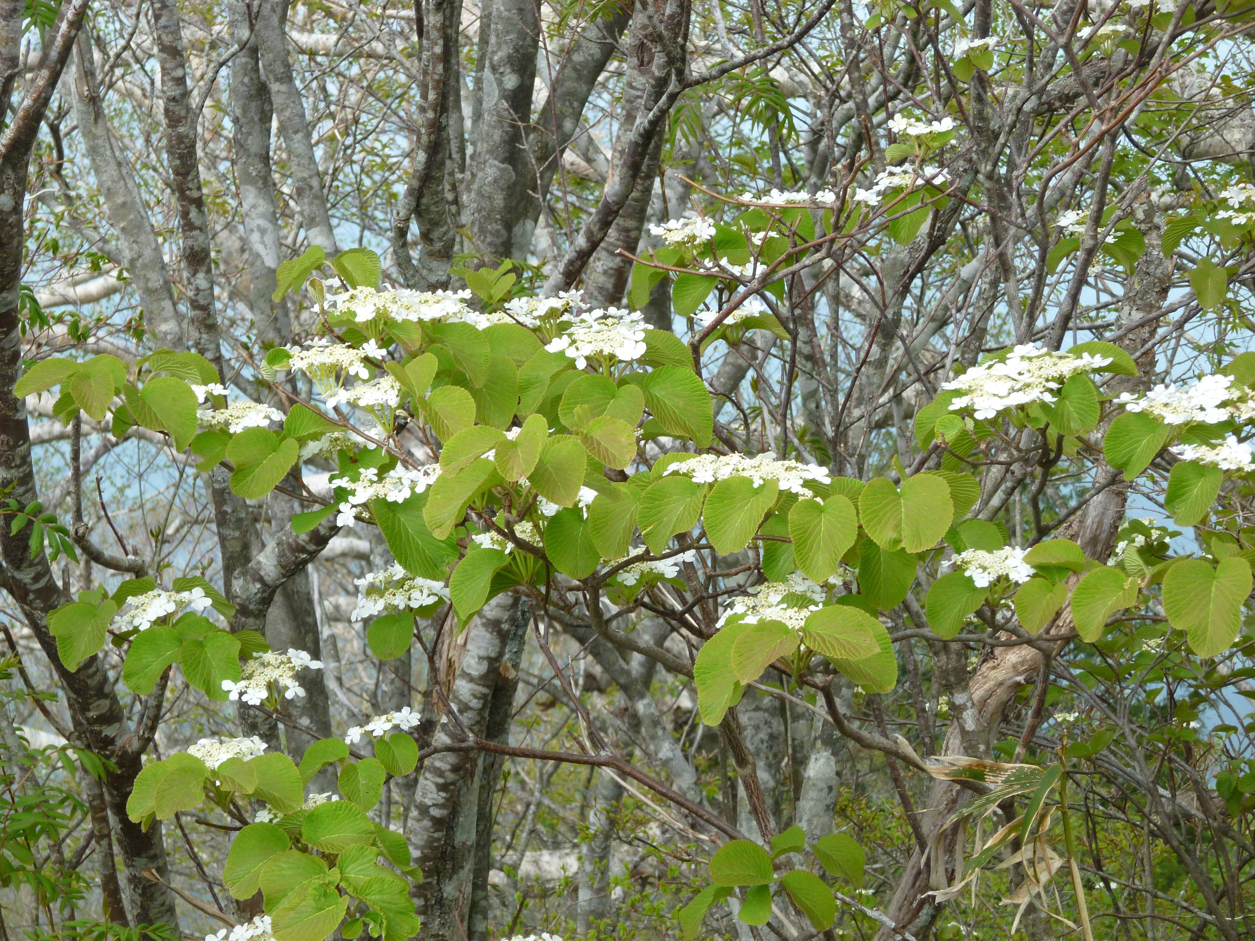 Viburnum furcatum, Gaffelolvon Zon 1-4