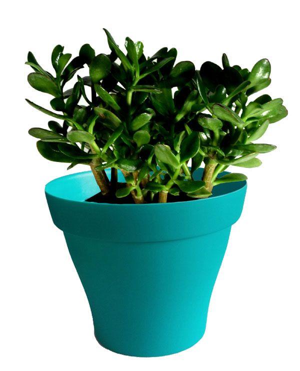 Crassula avec cache pot turquoise | Cactus plus | Pinterest | Cacti