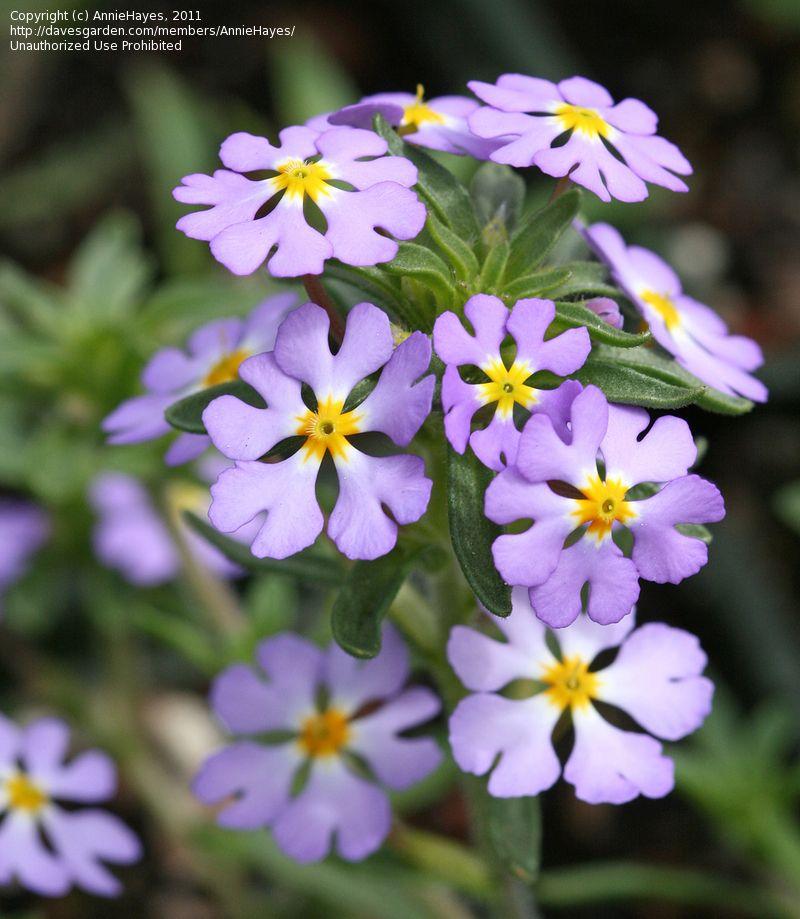 Today S Bloom Is Southern Lilac Drumsticks Zaluzianskya Villosa Fragrant Flowers Love Flowers Bloom