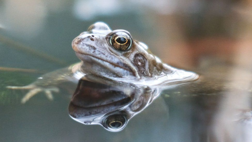 Friendly Bacteria Could Help Save Frogs From Disease Sciencenews Sciencenewsstudents Sciencenewsdaily Sciencenewsletter Sc Common Frog Frog Frog Species