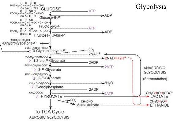 glycolysis pathway diagram w  great notes   bchm   concepts of    glycolysis pathway diagram w  great notes   bchm   concepts of biochemistry   pinterest