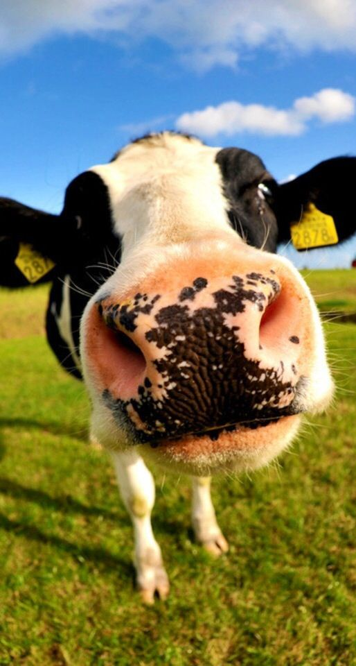 So Cute And Adorable Cow Nose Cute Cows Cow Wallpaper