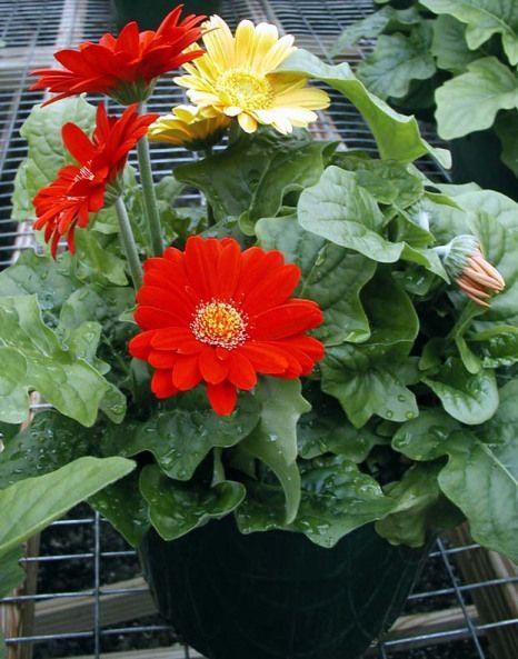 How To Grow Gerbera Daisies Indoors Gerbera Gerbera Plant Plants