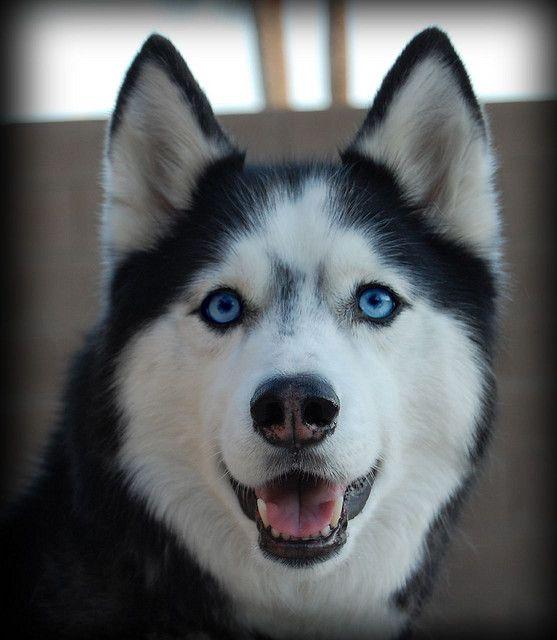 What A Face Alaskan Husky Siberian Husky