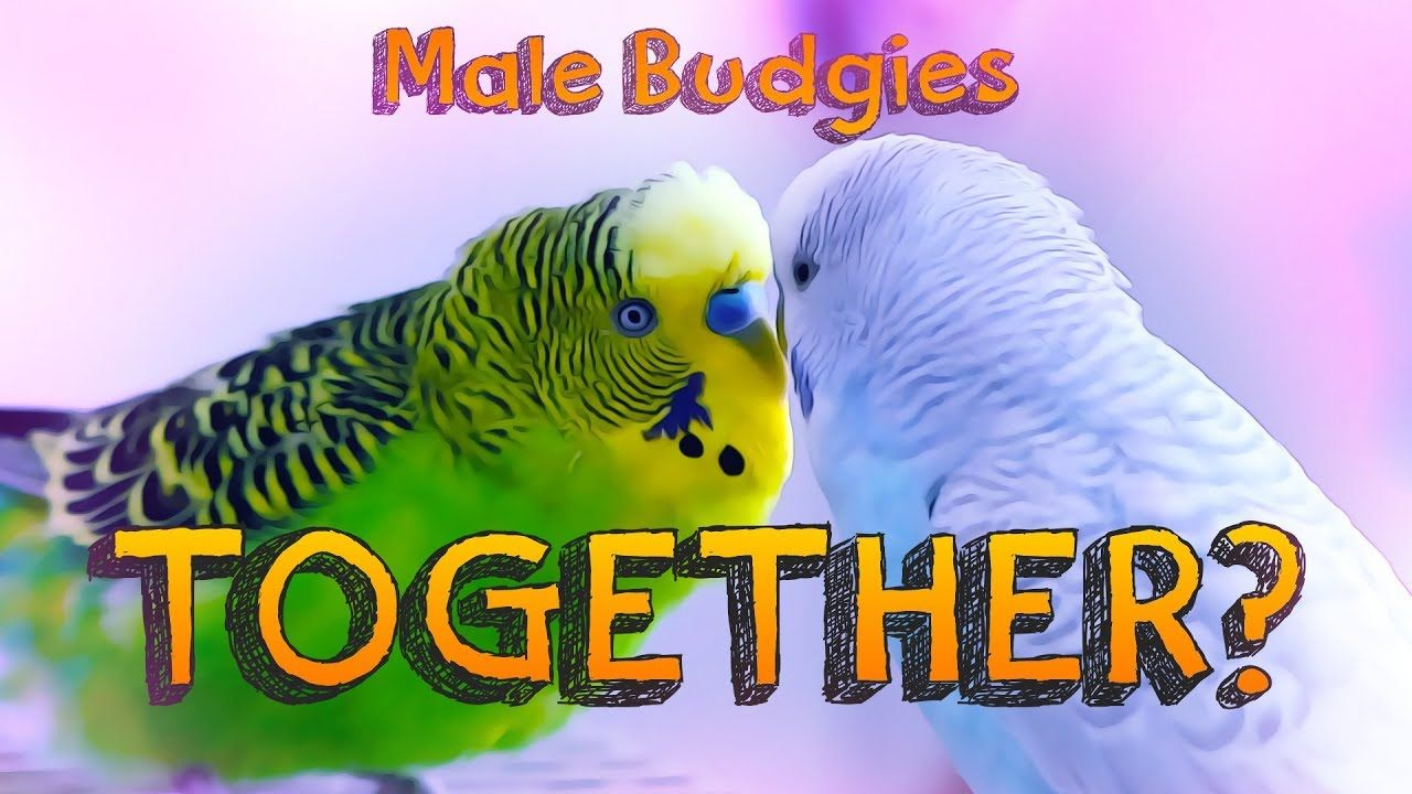 Can male budgerigars live together budgerigar budgies