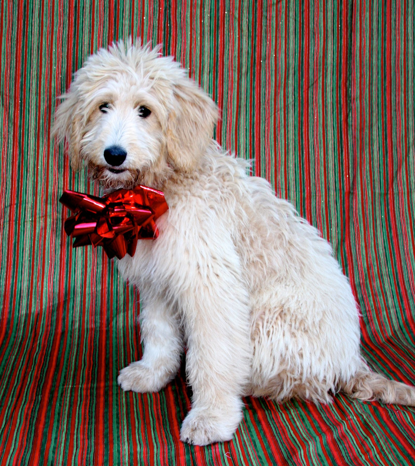 Pyredoodle Pyrenees Standard Poodle Hybrid Ready For Christmas