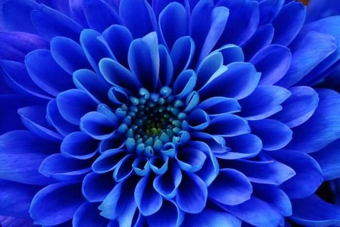 Dark Blue Aster Flower Types Of Blue Flowers Flower Meanings Birth Flowers