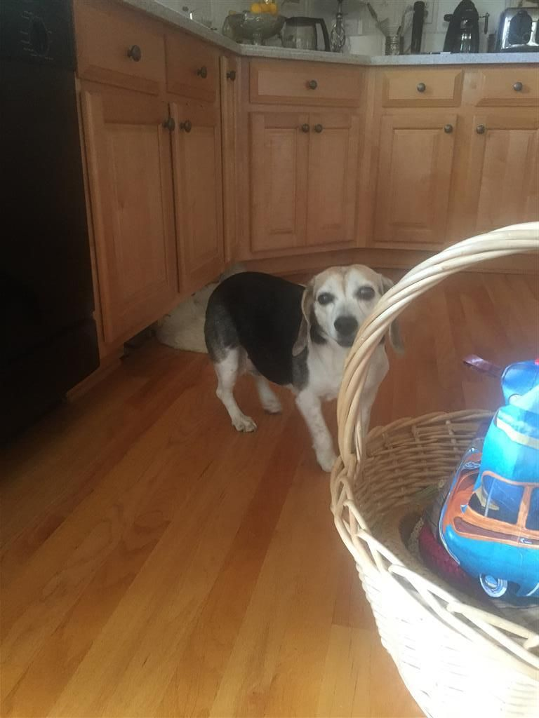 Found Dog Beagle Canton Ga United States Dogs Found In