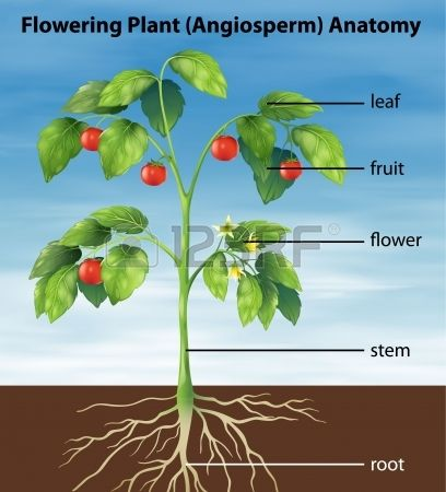Illustration Showing The Parts Of A Tomato Plant Tomato Plants Plants Parts Of A Plant