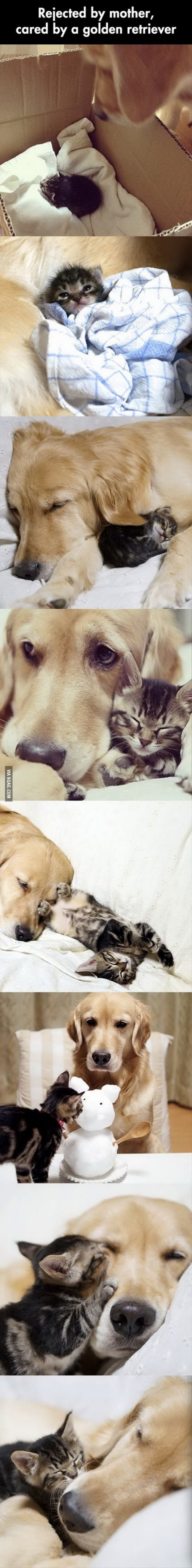 Golden retriever adopts a kitten that was abandoned by its mother