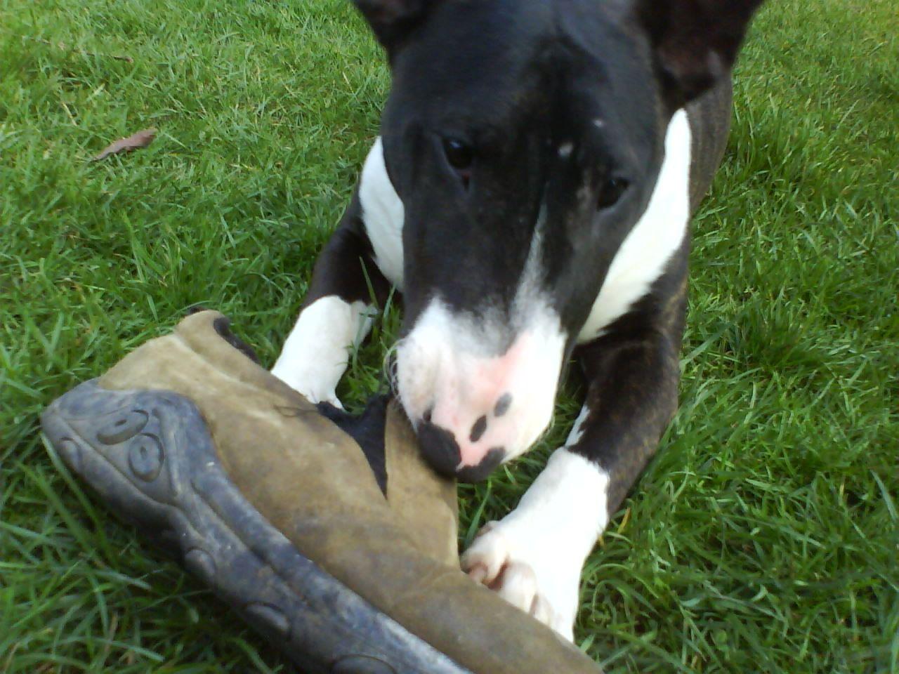 Resultado de imagen para Bull Terriers chew shoes
