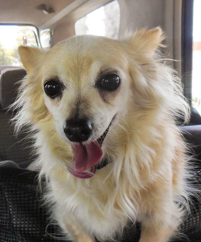 Dameranian Dog For Adoption In Gilbert Az Adn 586754 On