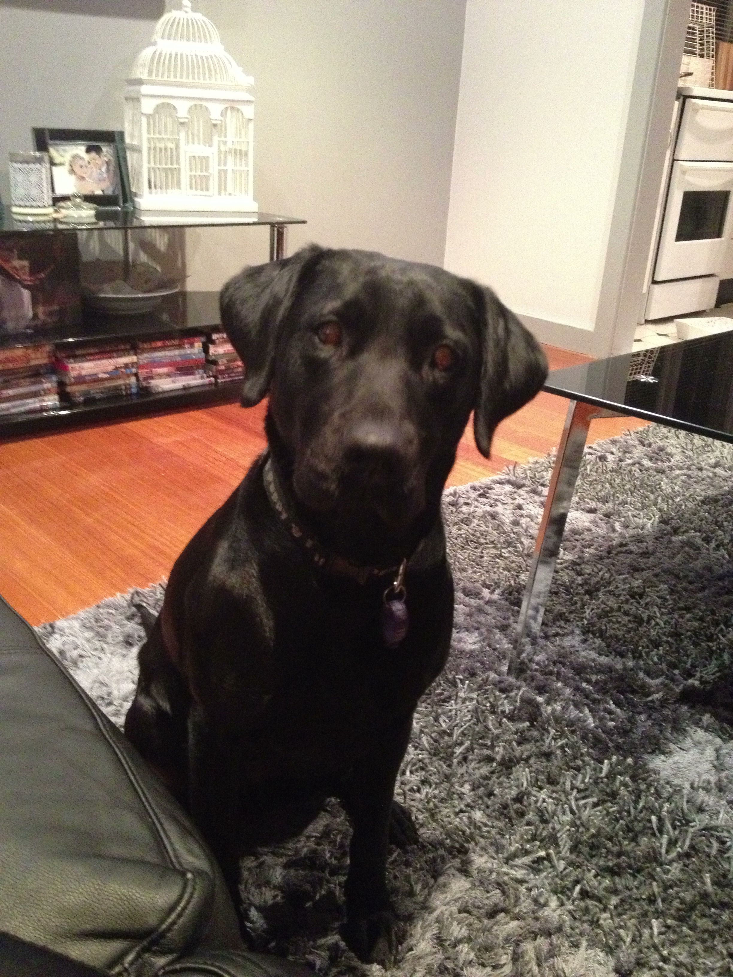 Lab Puppies For Sale In Wis 2021