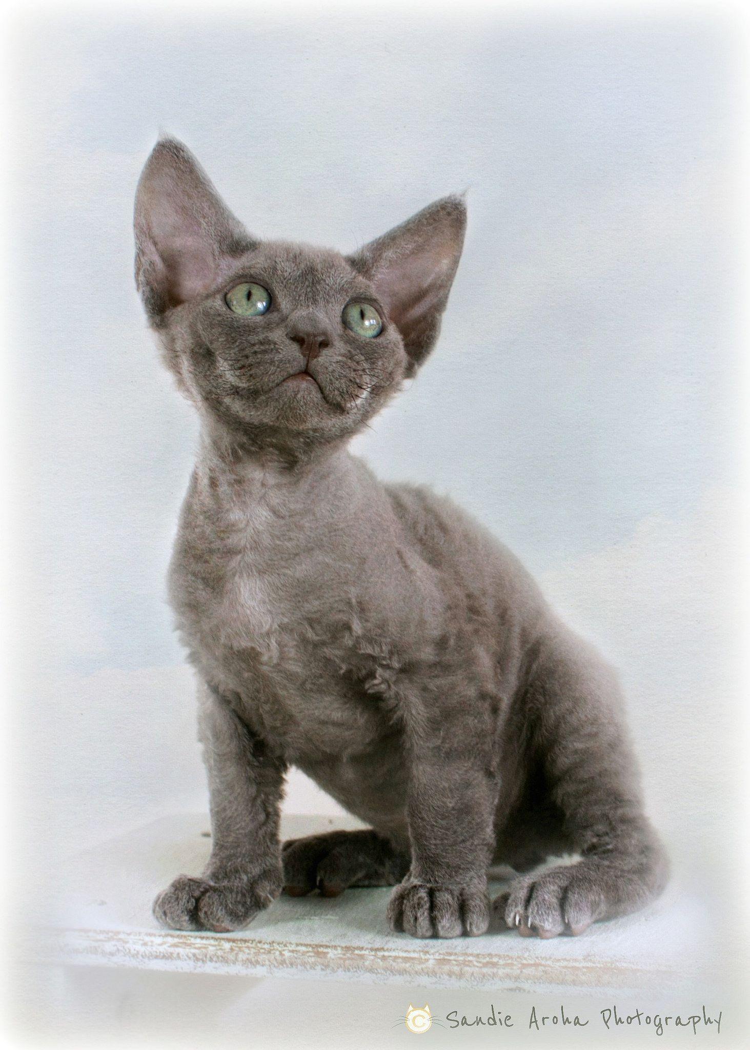 Baby Blue Devon Rex Devon Rex Cats Rex Cat Devon Rex