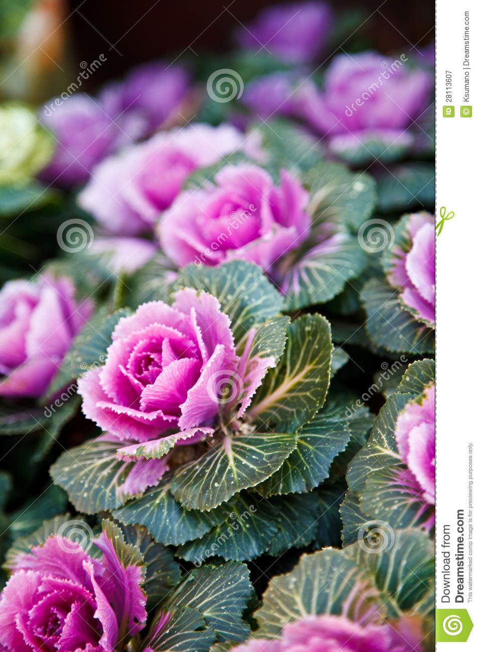 Ornamental Kale Download From Over 68 Million High Quality Stock Photos Images Vectors Sign Up For Free Today I Ornamental Kale Beautiful Flowers Flowers