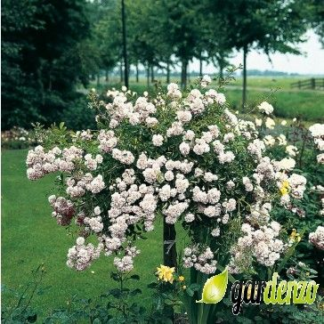 Rosa 'White Dorothy' - Klimrozen - Rozen - Gardenzo