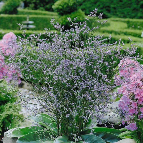 Limonium Latifolium Beautiful Gardens Garden Planning Plants