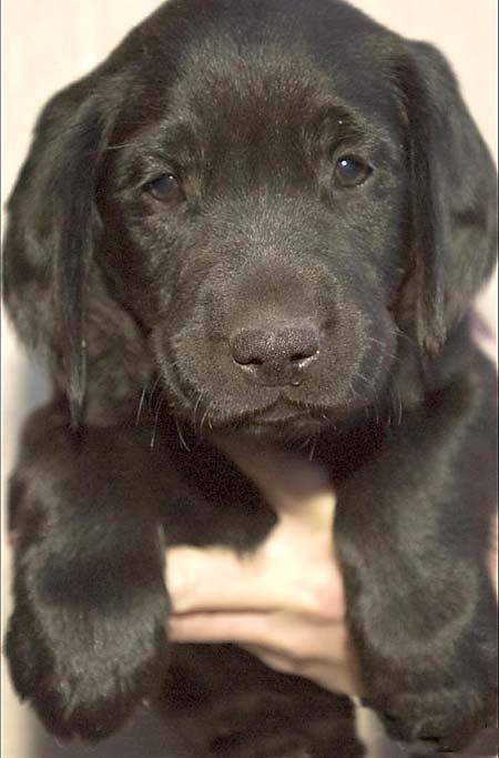 Omg Look At This Face Little Black Lab Cute Puppy