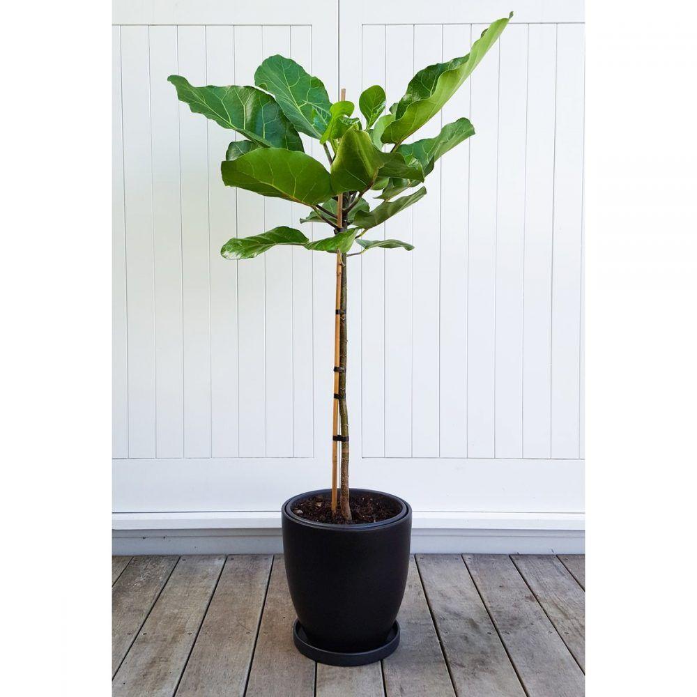 Not A Fiddle Leaf Fig This Is Meryta Sinclairii Nz Puka Indoor Plant Pots Best Indoor Plants Indoor Trees [ 1000 x 1000 Pixel ]