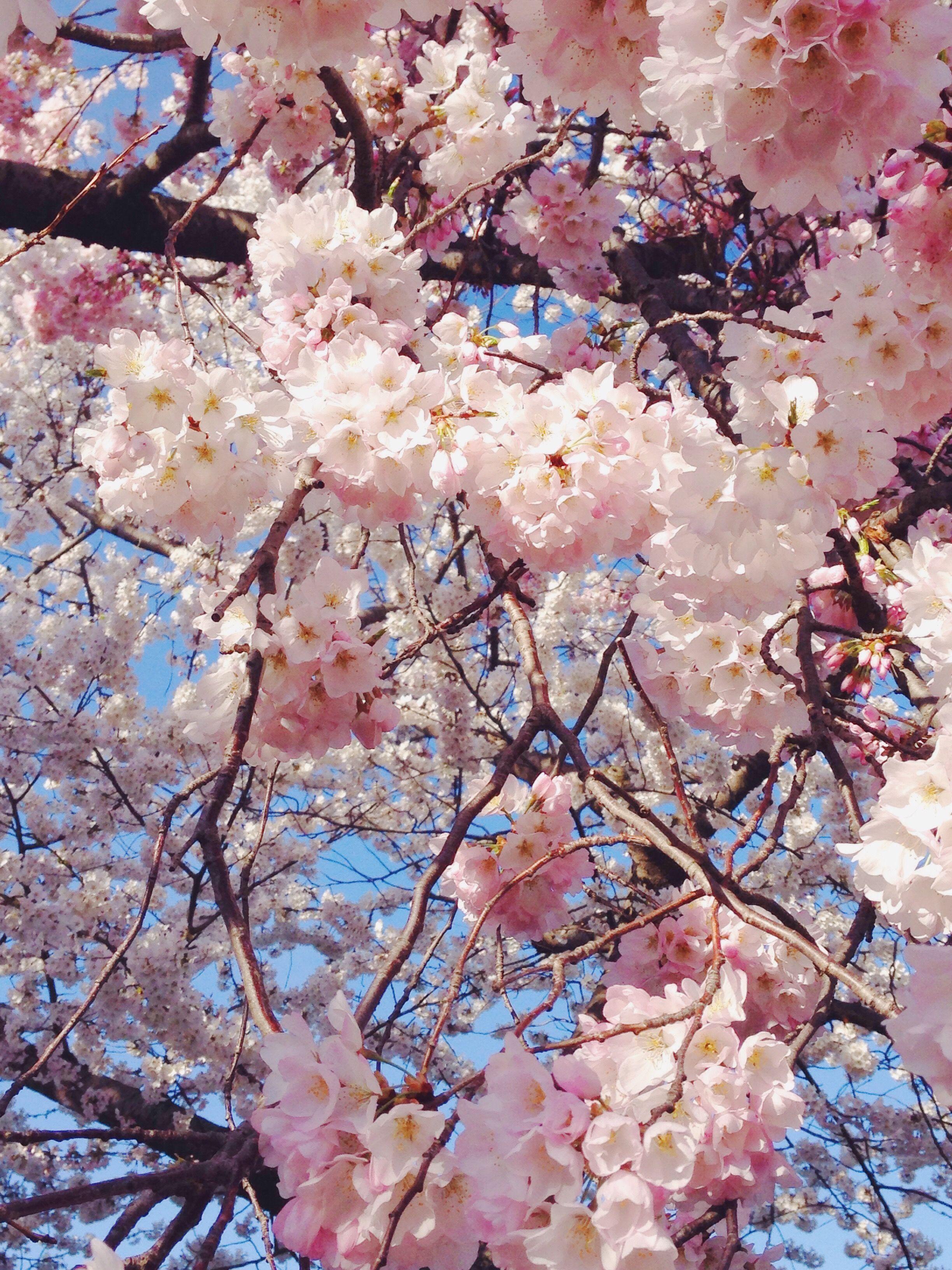 Sakura Season Sakura Seasons Cherry Blossom