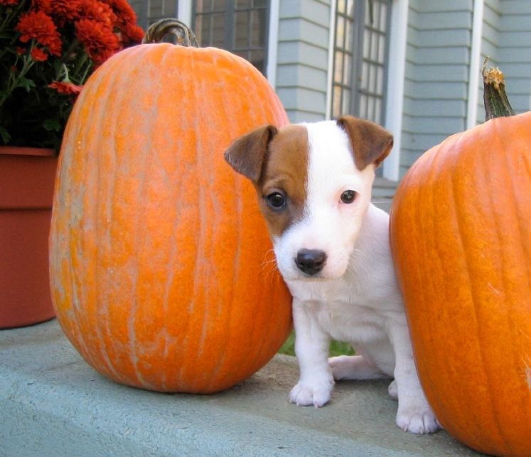 Canned pumpkin for dogs and cats canned pumpkin for dogs