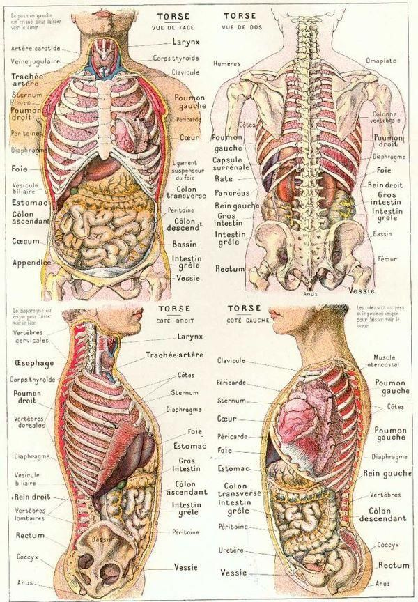 Anatomie Du Corps Humain French Language Pinte